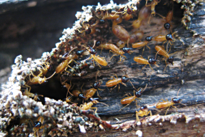 Bellevue Termite Control